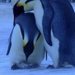 Do you think that animals do not resemble humans? Look at the heartrending cry of a mother penguin losing its young