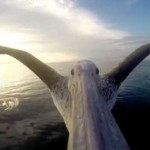 You've never seen anything like. The first flight of a beautiful pelican… First Person. Beautiful.